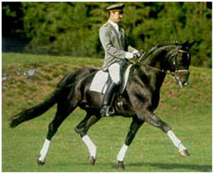 Rotspon Dressage Stallion